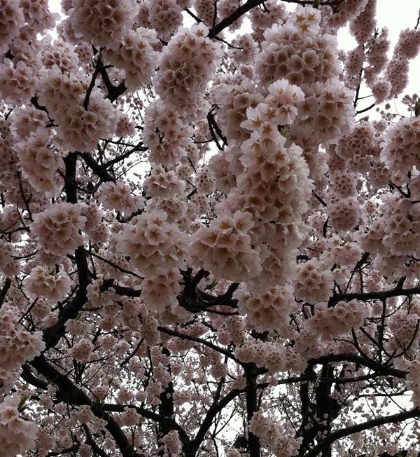 味真野の桜の花の画像
