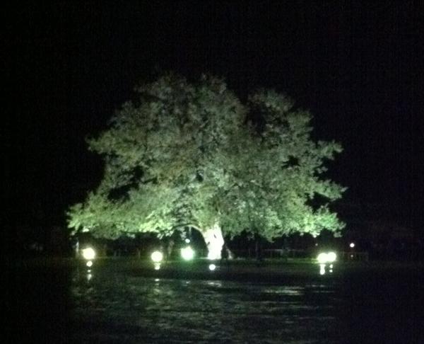 ライトアップした味真野小学校の桜