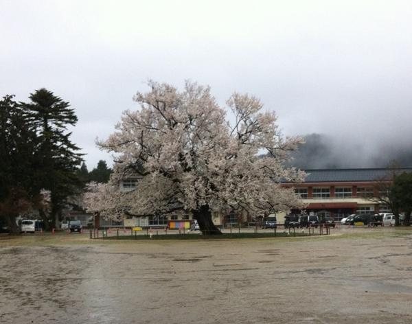 味真野の桜 4月6日