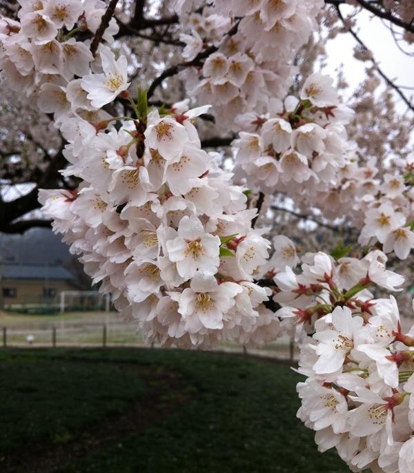 味真野小学校の桜の花
