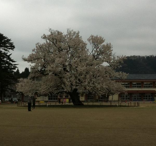 味真野の桜画像