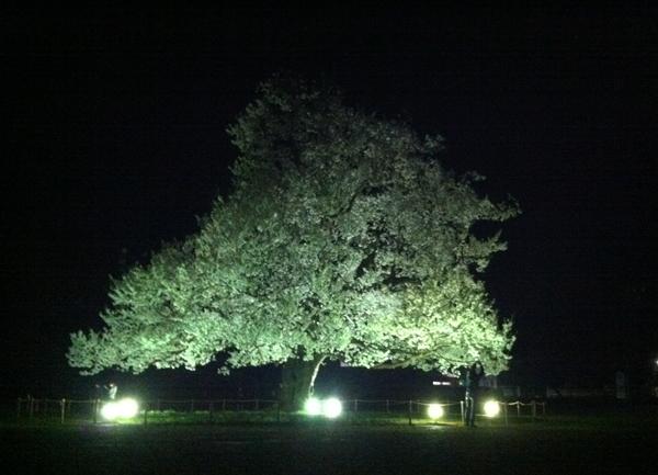 ライトアップされた桜 4月7日
