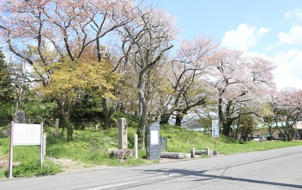 小丸城跡の桜
