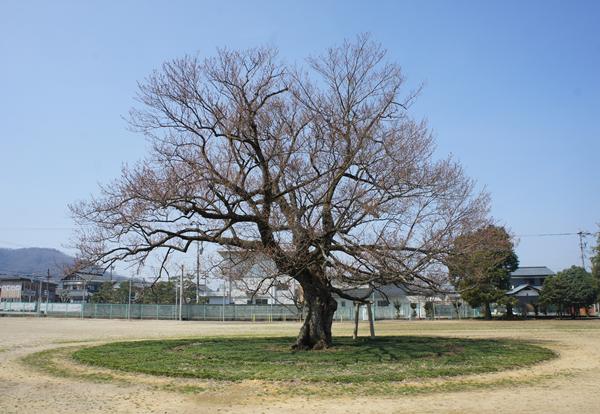 味真野小学校にある桜