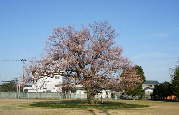 あじまのの桜