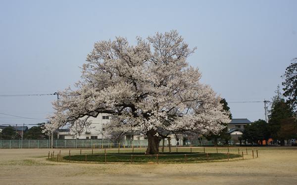 味真野の桜
