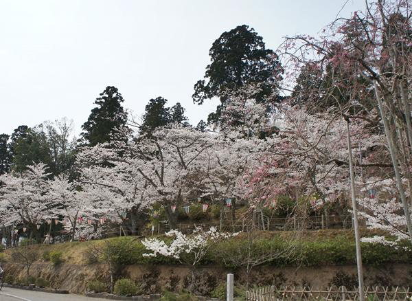 桜 2018年4月2日