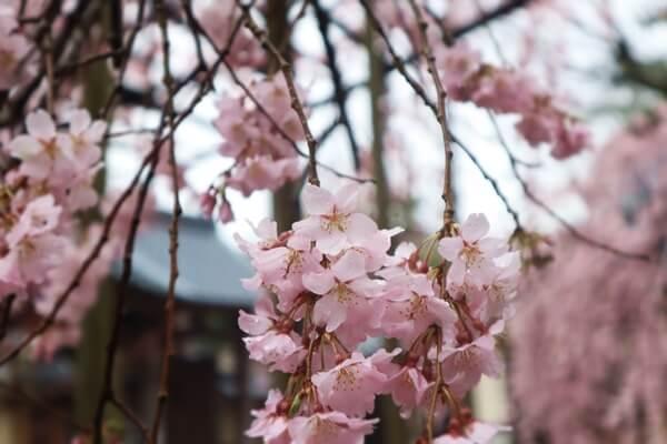2020年3月27日の桜