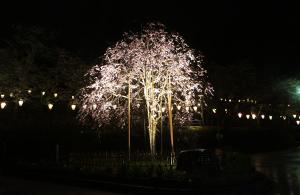 花筺公園の桜
