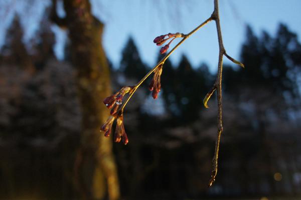 竹田のしだれ桜