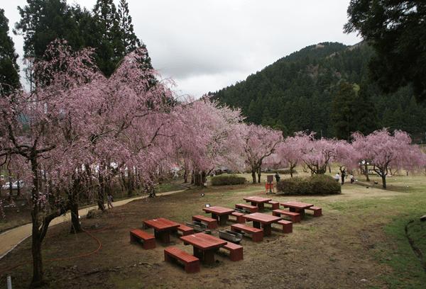 竹田地区のしだれ桜