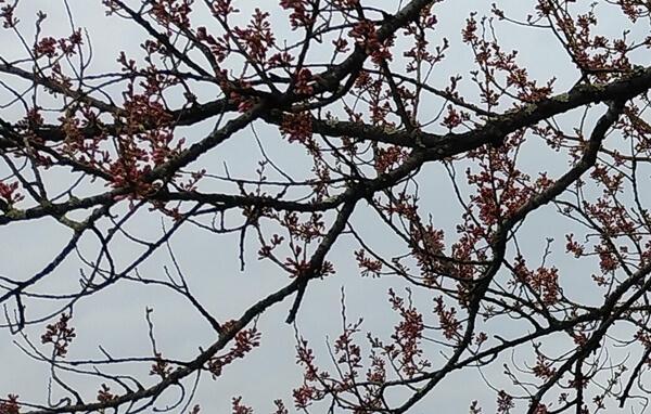 2020年3月22日の桜