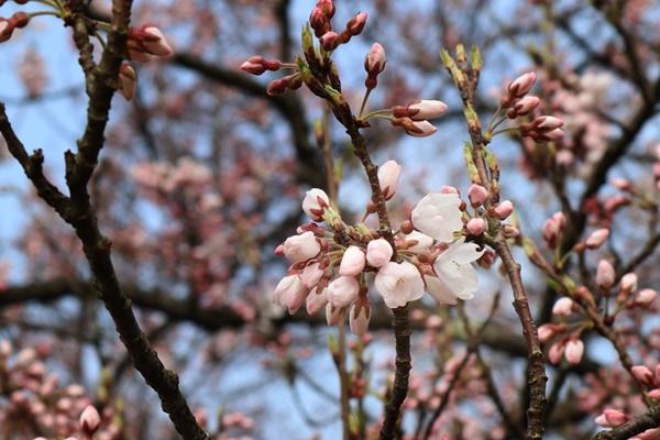 2019年味真野の桜