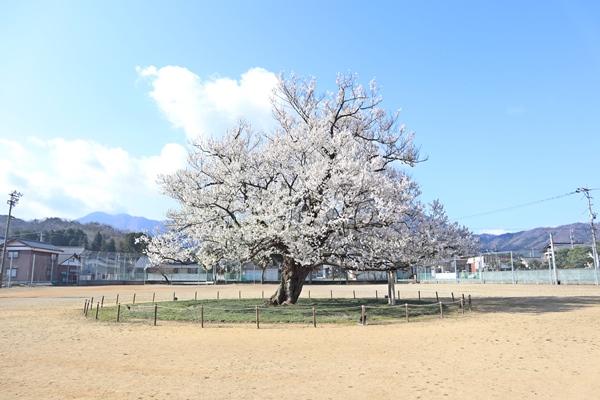 2019年4月8日の桜
