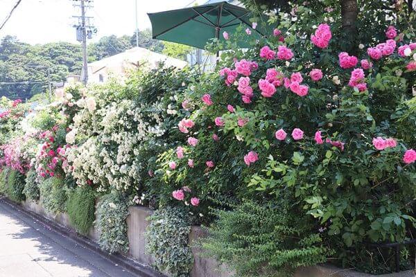 麩市さんのバラ