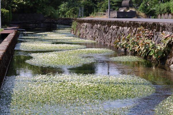 バイガモの咲く川