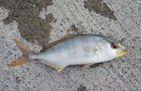 カンパチの稚魚