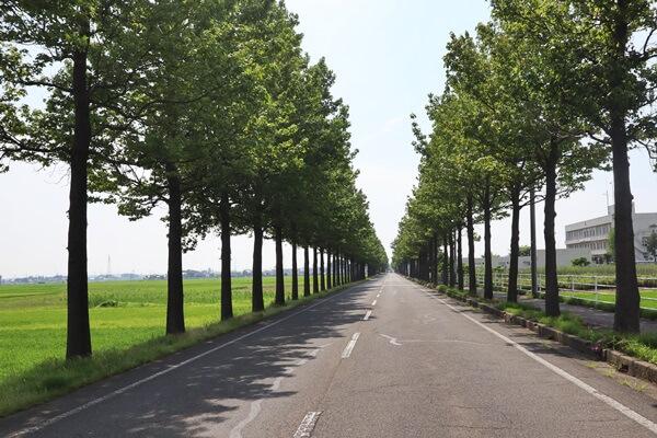 新緑時のアメリカフウの並木道