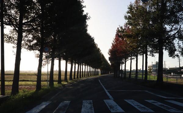 アメリカフウの並木