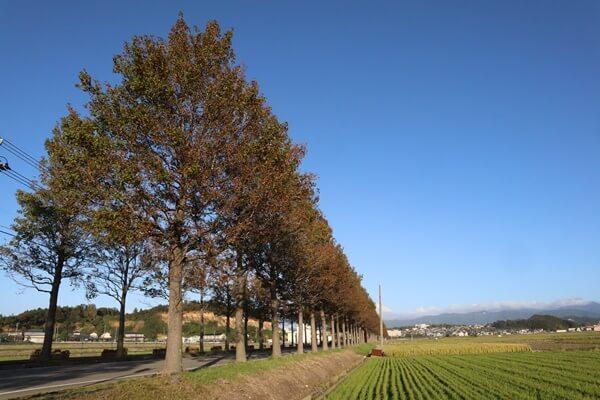 坂井市のアメリカフウの並木