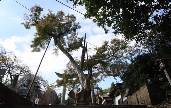 福井市指定の天然記念物のもみじ