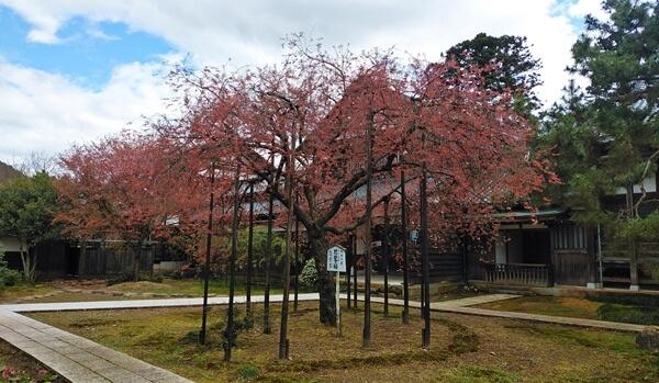 城福寺のしだれ桜