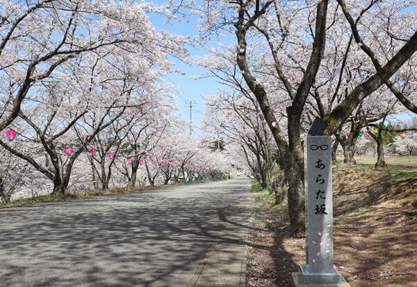 あらた坂の桜並木