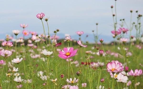 コスモス畑の花