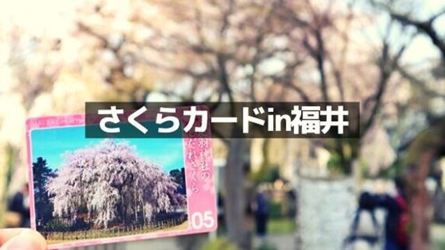 福井の桜カード