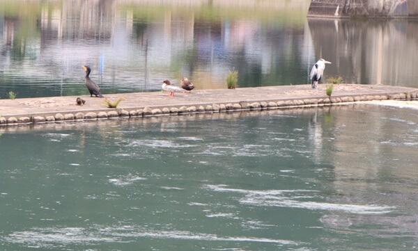 鳴鹿大堰の鳥