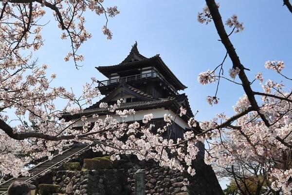 丸岡城の桜