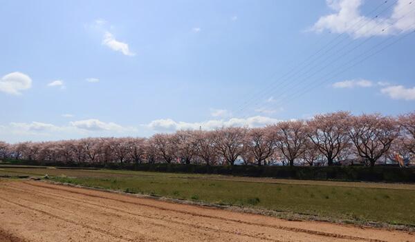 浅水川の桜