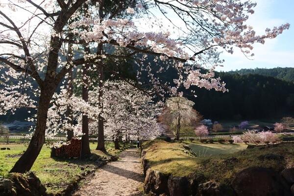 朝倉氏遺跡の桜