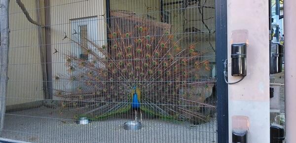 西山公園の孔雀