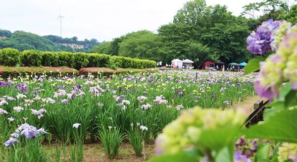 紫陽花と菖蒲